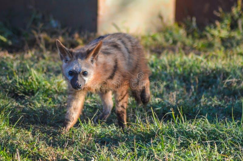 Knuppel eared vos die vrij in een het spelreserve Zuid-Afrika zwerven van Johannesburg stock afbeelding