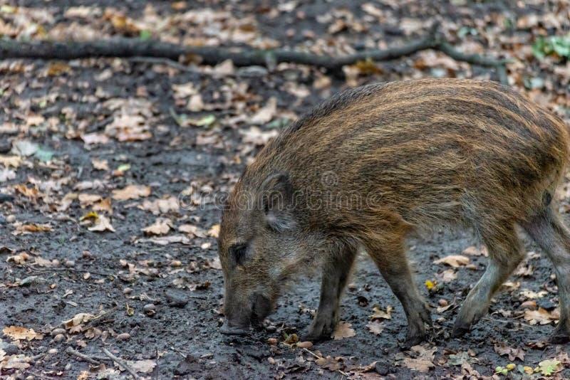 Knur boarling w lesie obraz stock