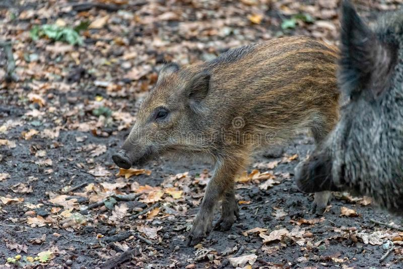 Knur boarling w lesie fotografia stock
