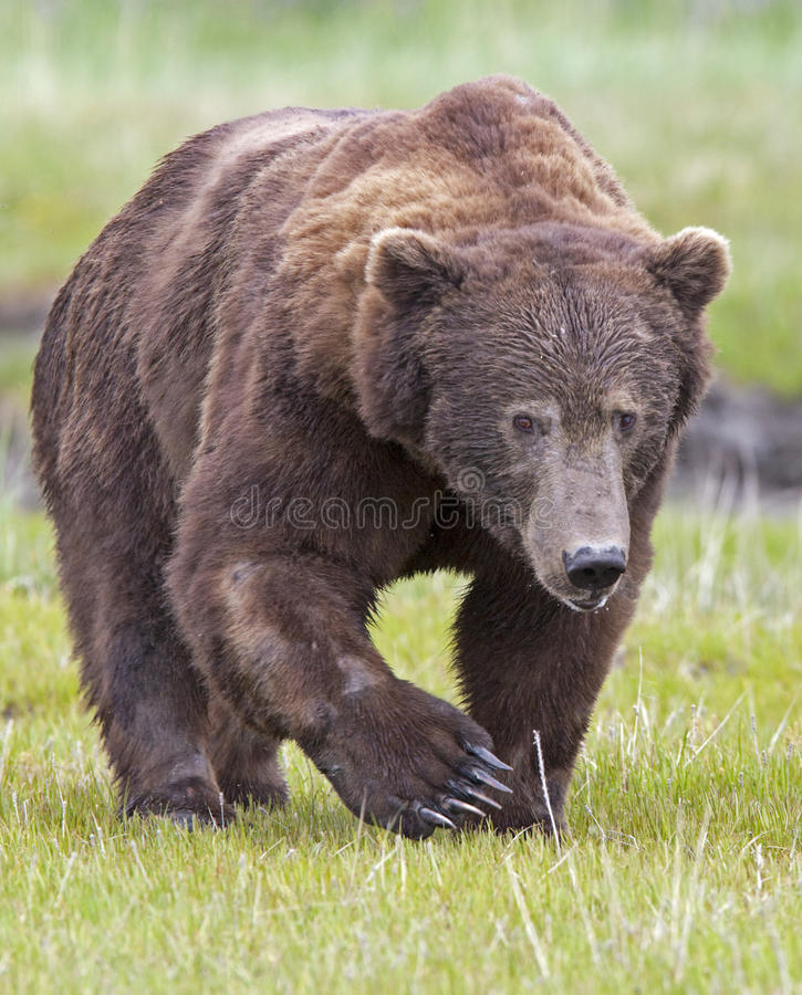 knura niedźwiadkowy grizzly zdjęcia royalty free