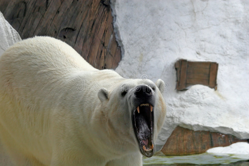 Knurrender Eisbär lizenzfreie stockbilder