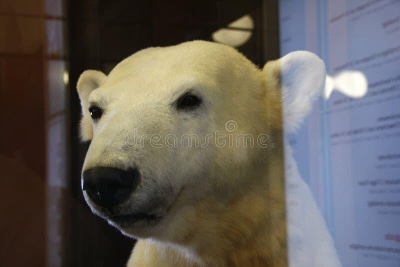 Knut lizenzfreie stockfotos