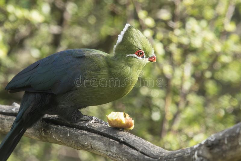 Knysna-loerie, das Frucht auf einem Baumast isst lizenzfreie stockbilder