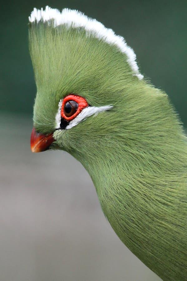 Knysna Loerie oder Turaco-Vogel lizenzfreies stockfoto