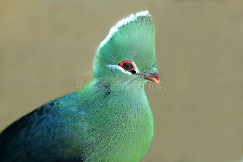 Knysna Loerie oder Turaco-Vogel stockbild