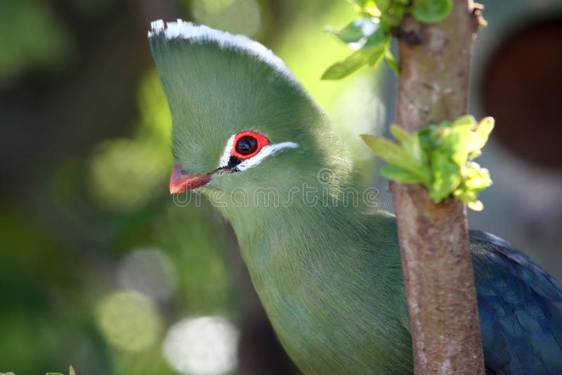 Knysna Loerie oder Tureco Vogel lizenzfreies stockbild