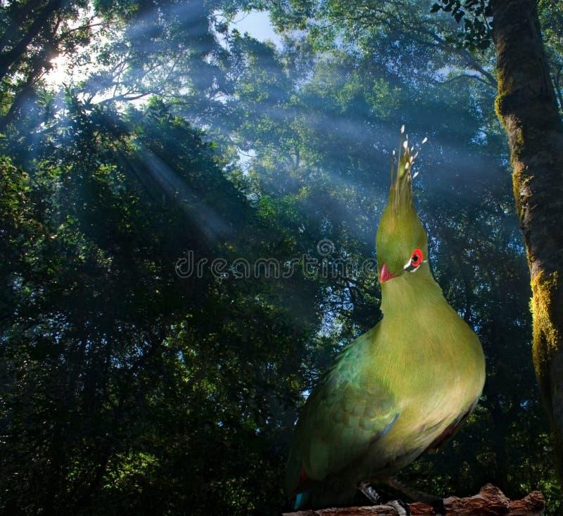 Knysna loerie Vogel lizenzfreies stockbild