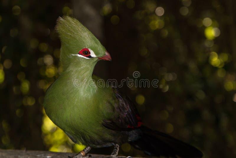 Knysna-Turaco Knysnaloerie, langer Kamm des grünen Vogels lizenzfreie stockfotografie