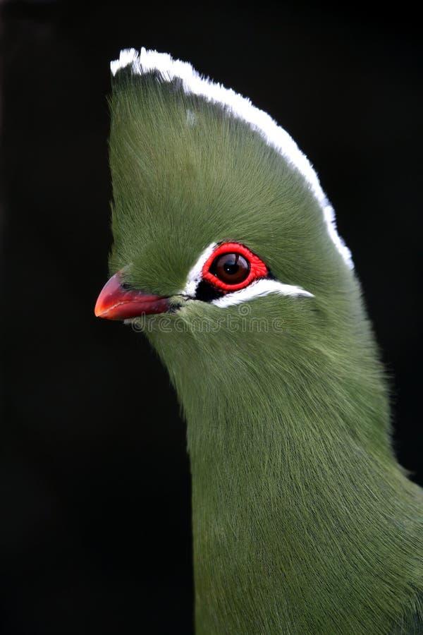 Knysna Turaco oder Loerie Vogel lizenzfreie stockbilder