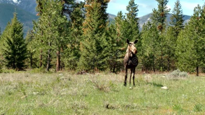 Koälg i en gräs- äng royaltyfria foton