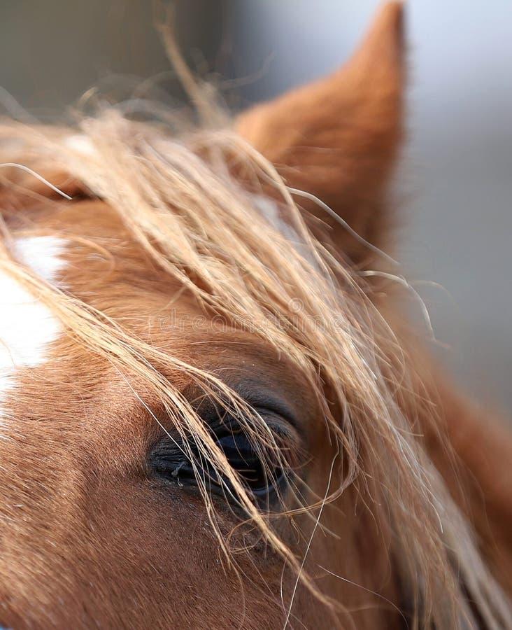 Koń, piękny portret Polski koń zdjęcia royalty free