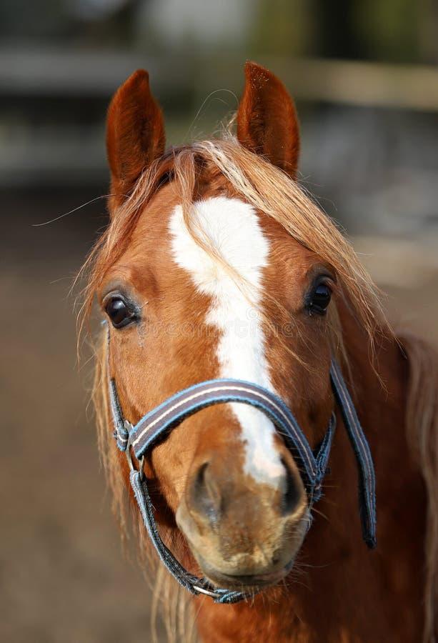 Koń, piękny portret Polski koń obraz stock