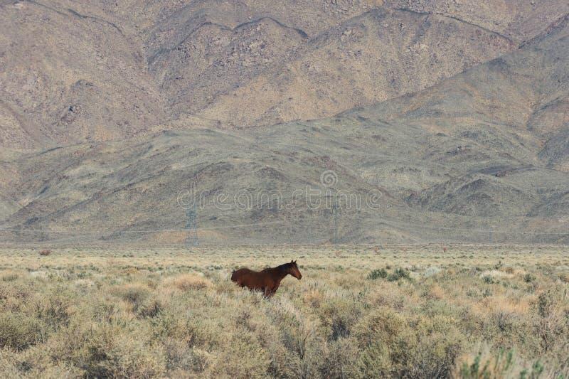 Koński pasanie na ranchland w Owens dolinie w Kalifornia zdjęcie royalty free