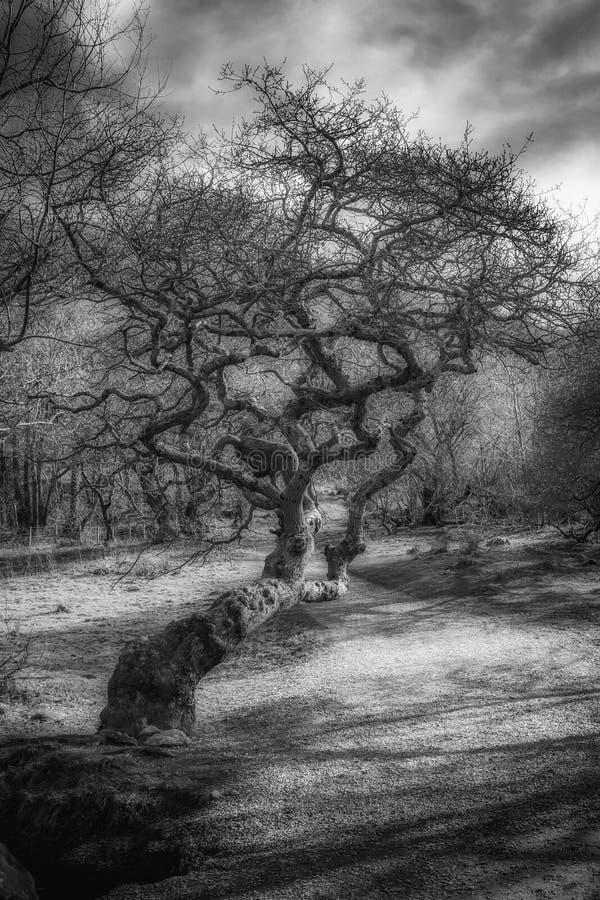 Koślawy drzewo fotografia stock