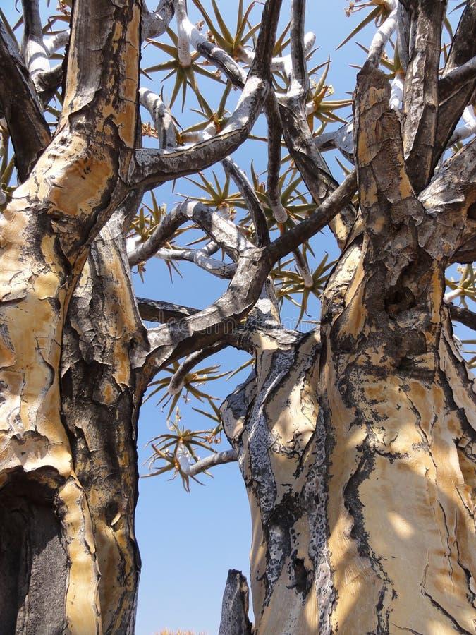 Kołczanów drzewa Namibia zdjęcia royalty free