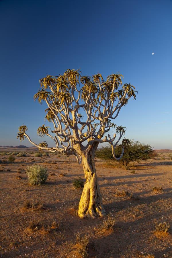 Kołczanu drzewo zdjęcia stock