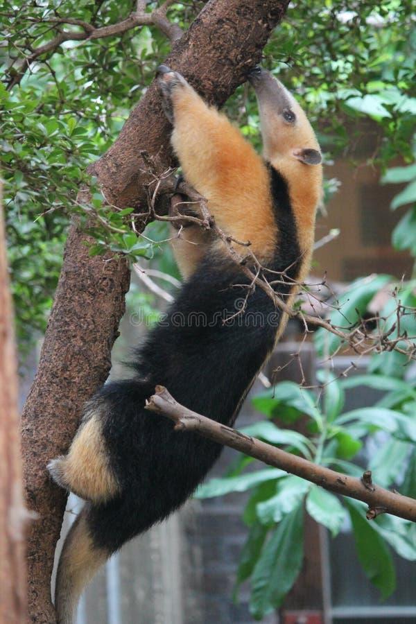 Kołnierzasty Anteater Tamandua tetradactyla fotografia stock