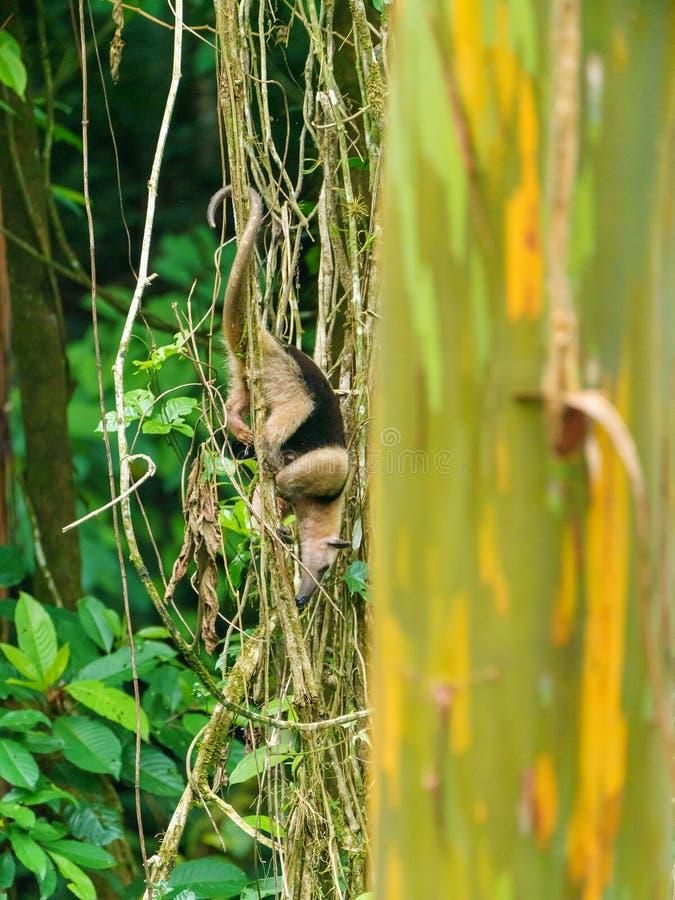 Kołnierzasty Anteater & x28; Tamandua tetradactyla & x29; w Costa Rica zdjęcia royalty free