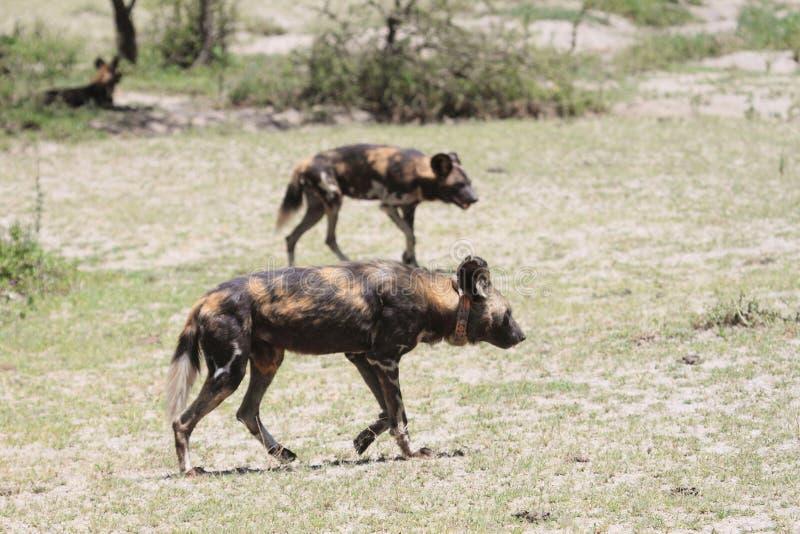 Kołnierzasty dzikiego psa odprowadzenie na sawannie zdjęcie royalty free
