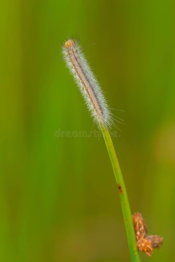 Kołnierzasty głąbika ćma Caterpillar obraz stock
