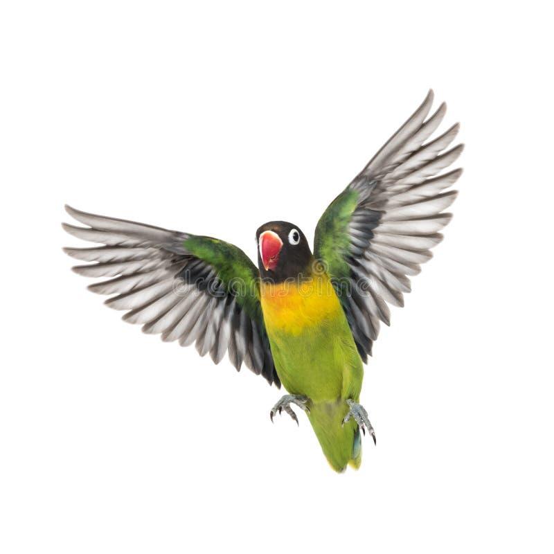 Kołnierzasty lovebird latanie, odizolowywający zdjęcia stock