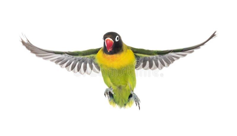 Kołnierzasty lovebird latanie, odizolowywający fotografia stock