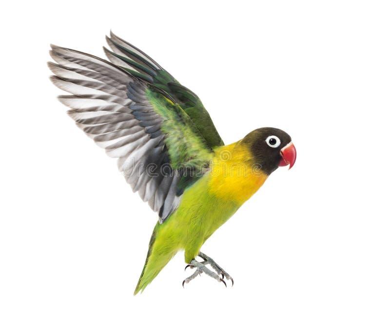 Kołnierzasty lovebird latanie, odizolowywający zdjęcia royalty free