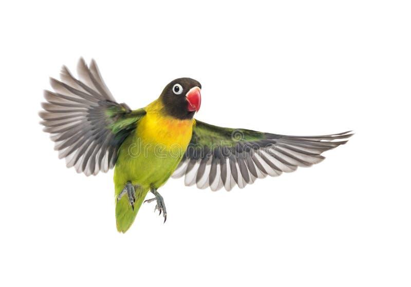 Kołnierzasty lovebird latanie, odizolowywający zdjęcie royalty free