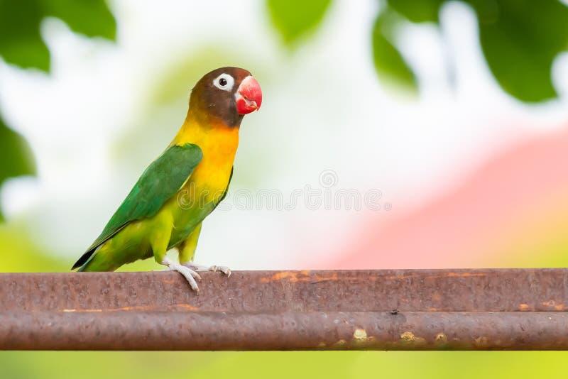 Kołnierzasty Lovebird lub Zamaskowany Lovebird tyczenie na barze odizolowywającym na plamy tle obraz stock