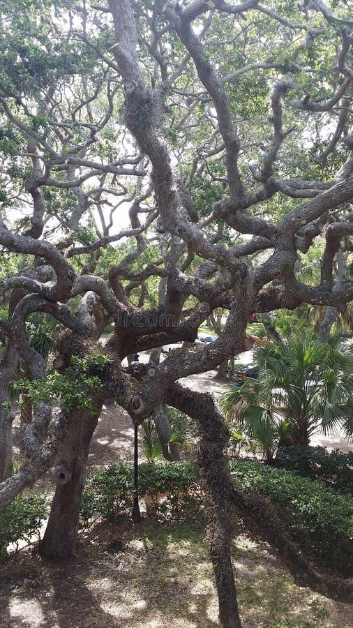 Kołtuniaści drzewa zdjęcie stock