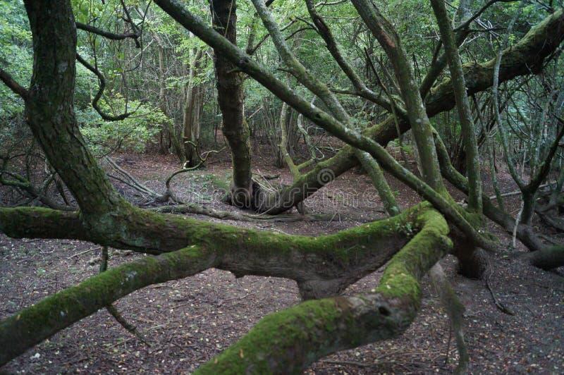 Kołtuniasty las zdjęcia royalty free