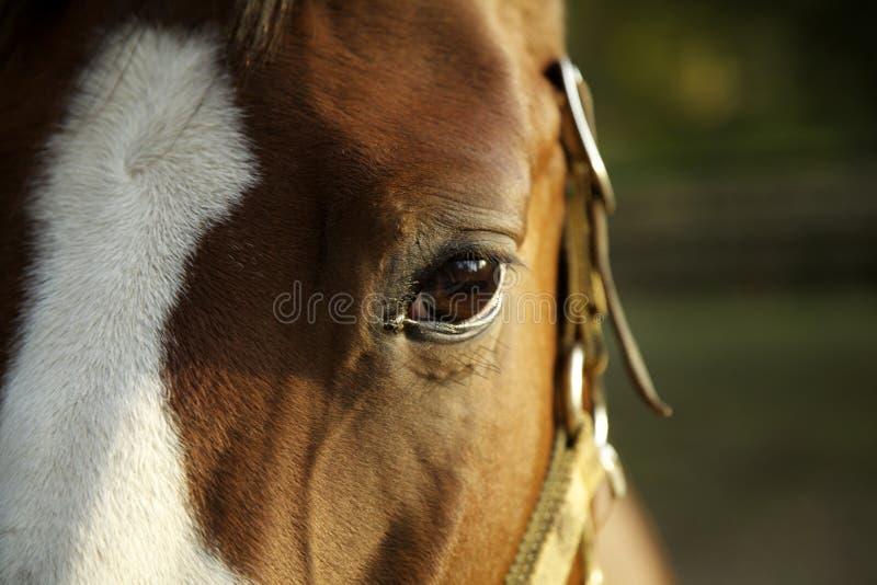 Koń zdjęcia royalty free