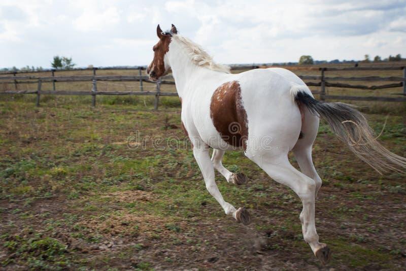 Koń biega wzdłuż padoku na gospodarstwie rolnym, tylni widok obraz royalty free