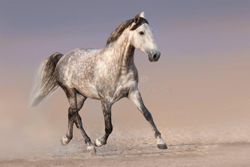Koń biegający w piasku zdjęcia royalty free