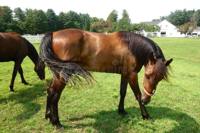 Koń, boczny widok, stojący w łące lub polu zdjęcia royalty free