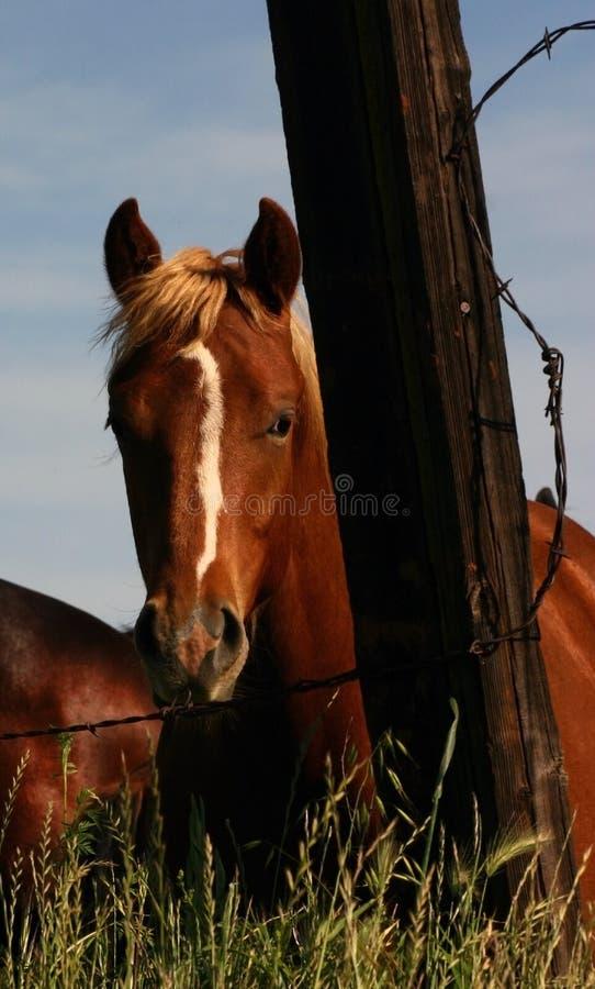 koń ciekawski fotografia stock