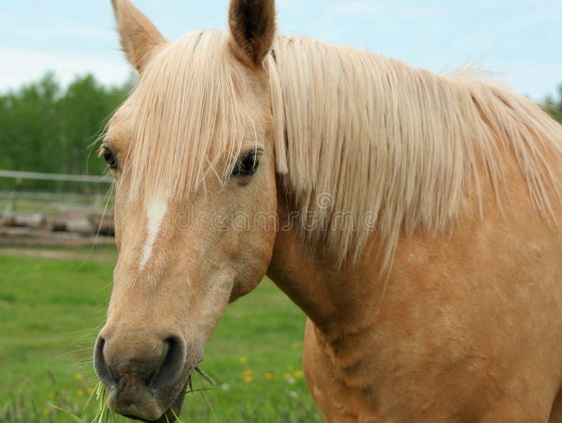 Koń cieszy się trawy zdjęcia royalty free