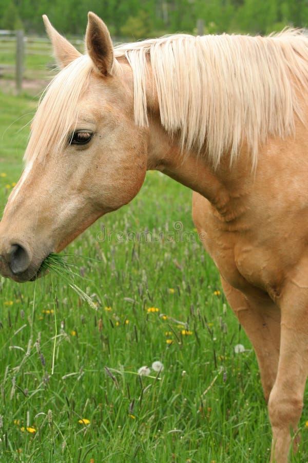 Koń cieszy się trawy zdjęcie royalty free