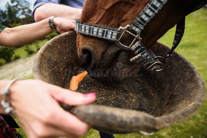 Koń dostaje marchewki od kosza fotografia royalty free