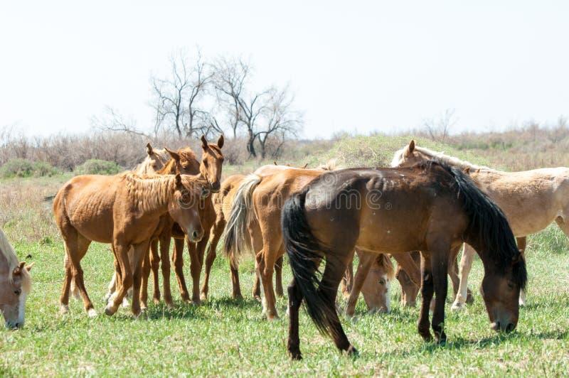 koń, equine, nag, hossa, kilof, dobbin obraz royalty free