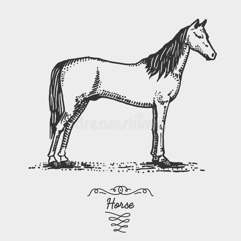 Koń grawerujący, ręka rysująca wektorowa ilustracja w woodcut scratchboard stylu, roczników rysunkowi gatunki ilustracji