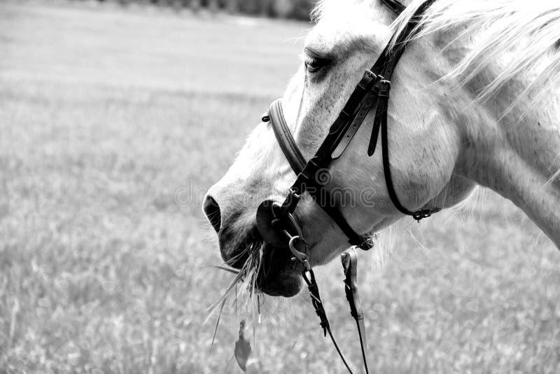 koń jedzenia zdjęcia royalty free