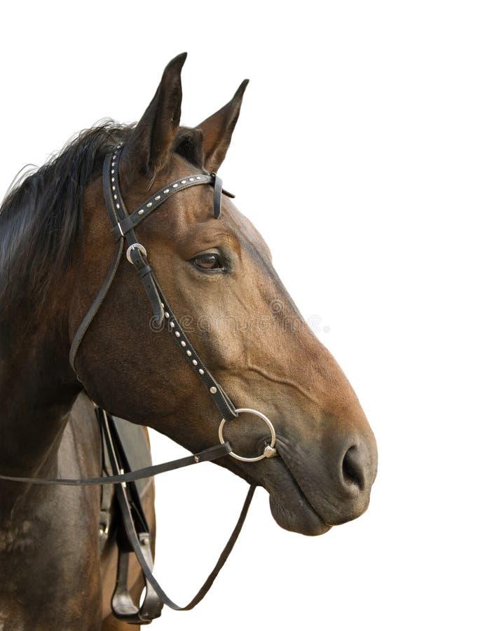 koń jest głównym obrazy stock
