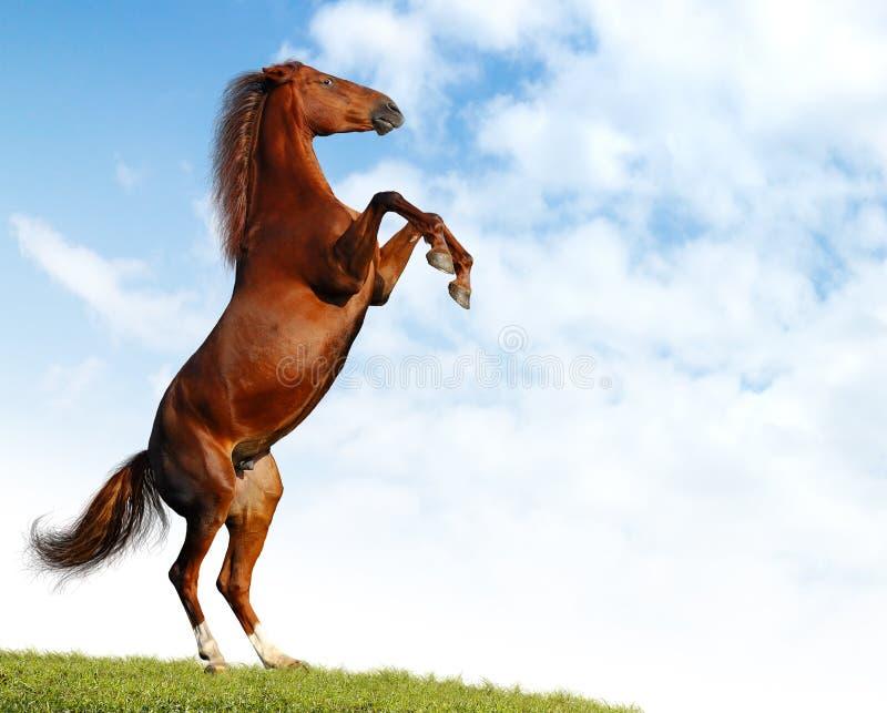 koń kobylak zdjęcie royalty free