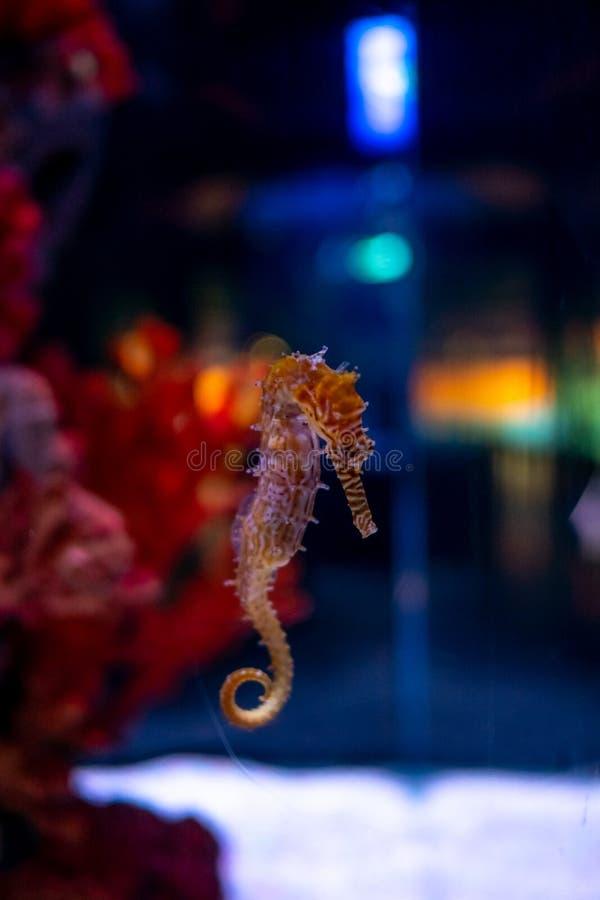 Koń morski w akwarium Te konie morskie żyją w ciepłych morzach wokół Indonezji, Filipin i Malezji zdjęcia royalty free