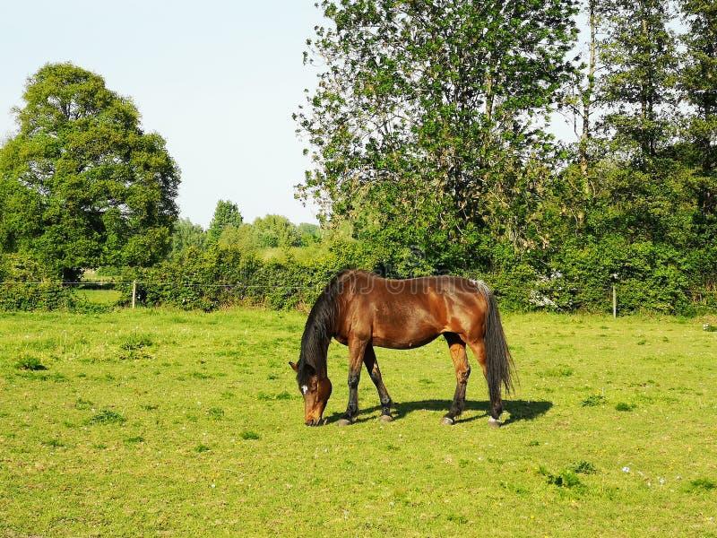 Koń na łące zdjęcie stock