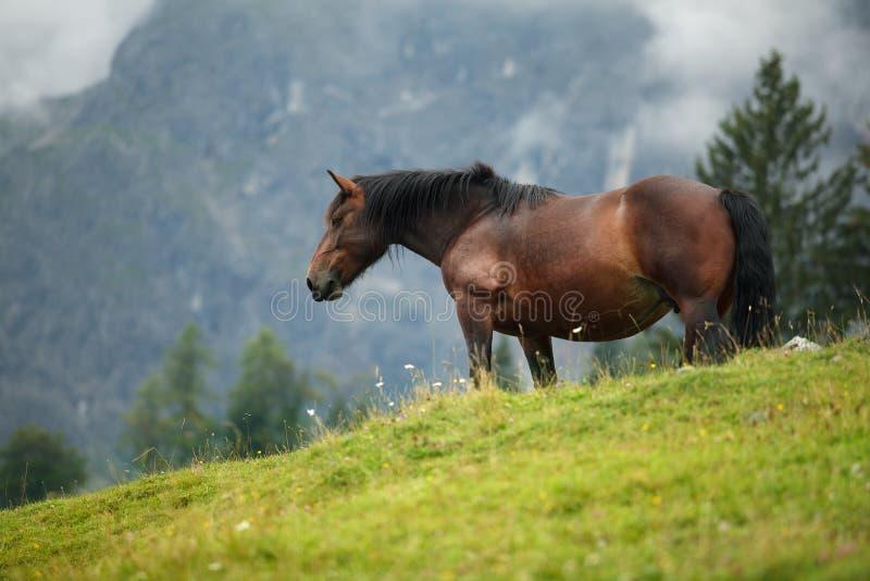Koń na Alpejskim Paśniku zdjęcie royalty free
