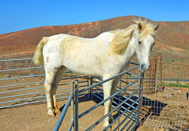 Koń na gospodarstwie rolnym na Fuerteventura obrazy royalty free