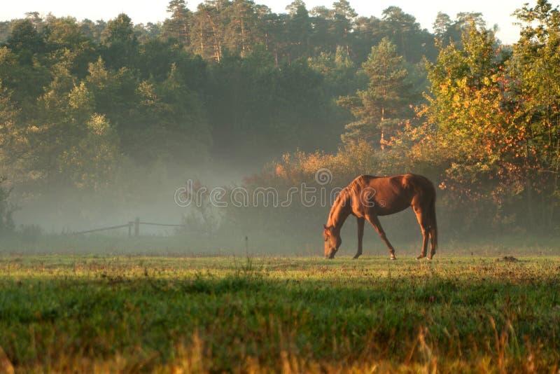 Koń na mgły łące w ranku fotografia stock
