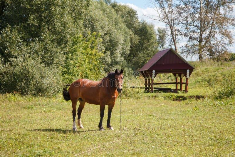 Koń na polu obrazy stock